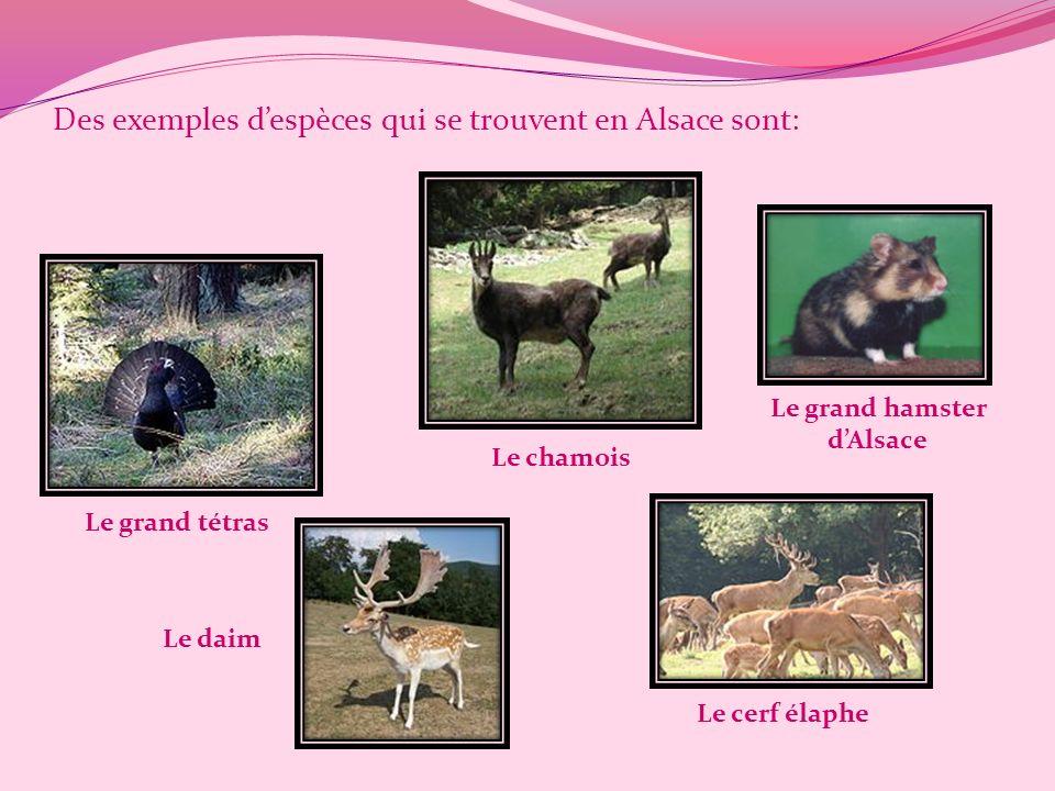 Des exemples despèces qui se trouvent en Alsace sont: Le grand tétras Le chamois Le daim Le cerf élaphe Le grand hamster dAlsace