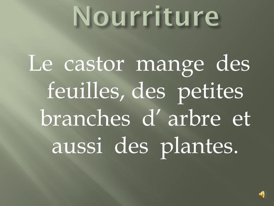 Le castor mange des feuilles, des petites branches d arbre et aussi des plantes.