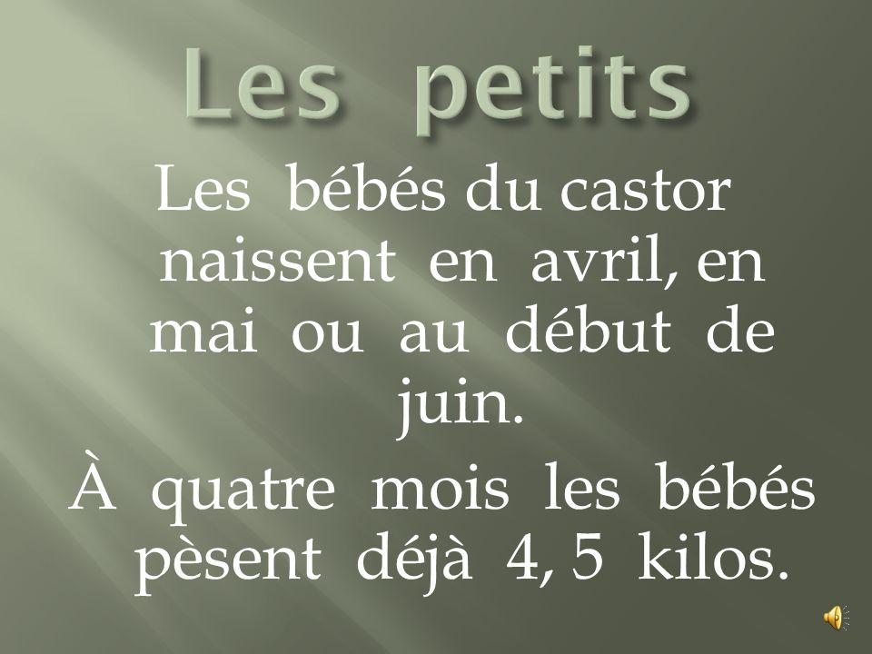 Les bébés du castor naissent en avril, en mai ou au début de juin.