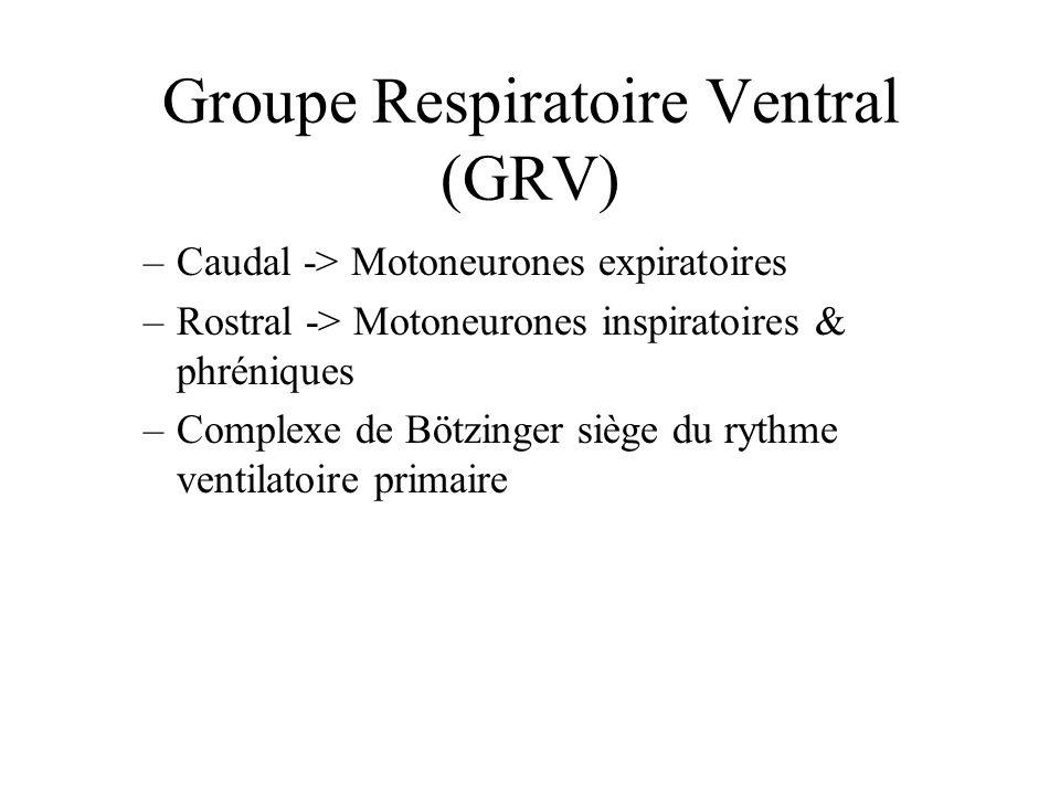 Groupe Respiratoire Ventral (GRV) –Caudal -> Motoneurones expiratoires –Rostral -> Motoneurones inspiratoires & phréniques –Complexe de Bötzinger sièg