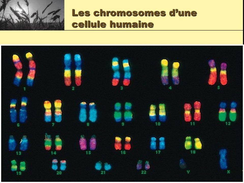 Les chromosomes dune cellule humaine