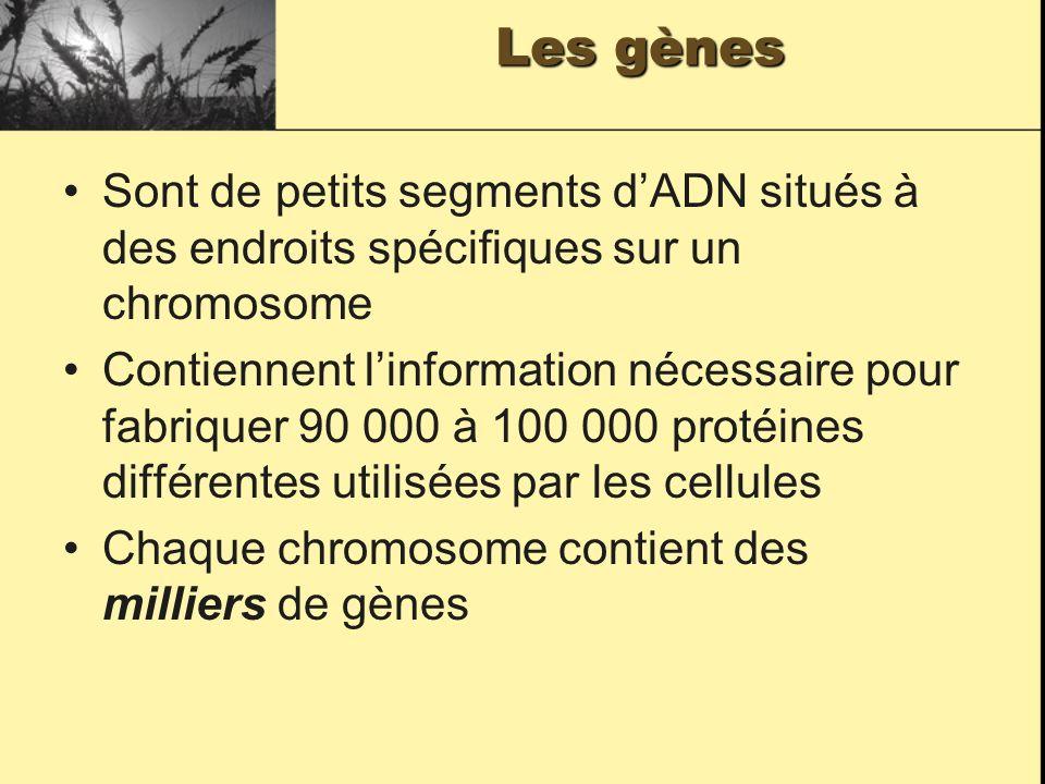 Les gènes Sont de petits segments dADN situés à des endroits spécifiques sur un chromosome Contiennent linformation nécessaire pour fabriquer 90 000 à 100 000 protéines différentes utilisées par les cellules Chaque chromosome contient des milliers de gènes