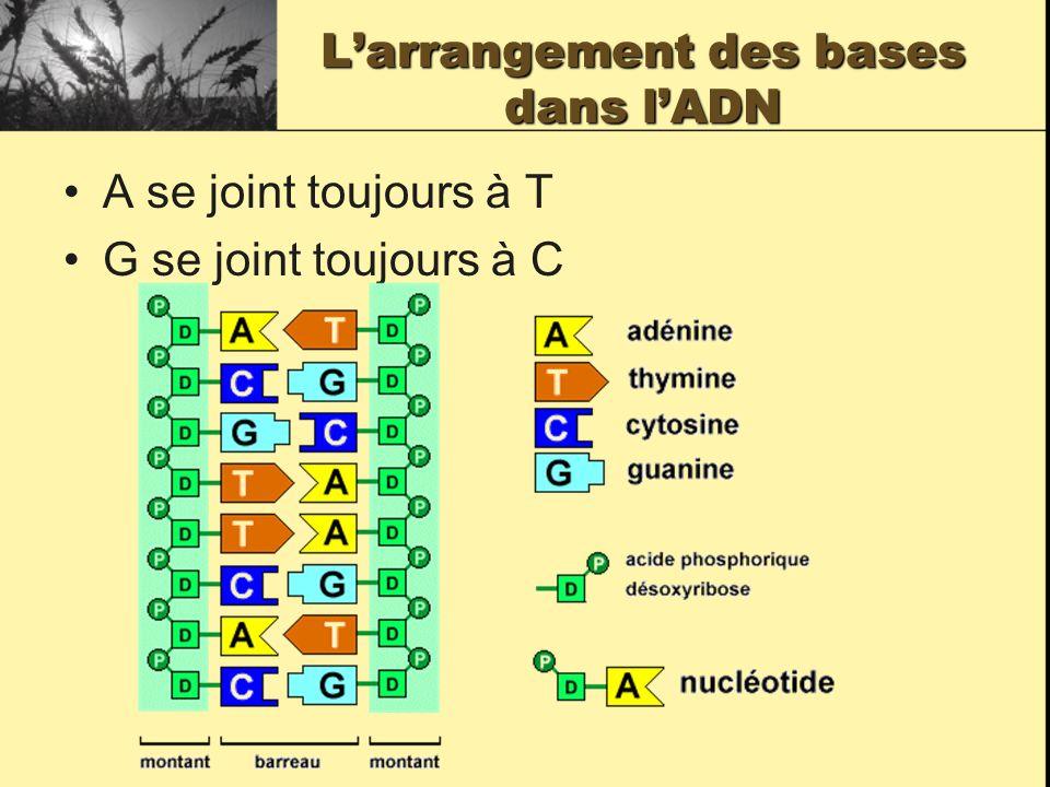 Larrangement des bases dans lADN A se joint toujours à T G se joint toujours à C