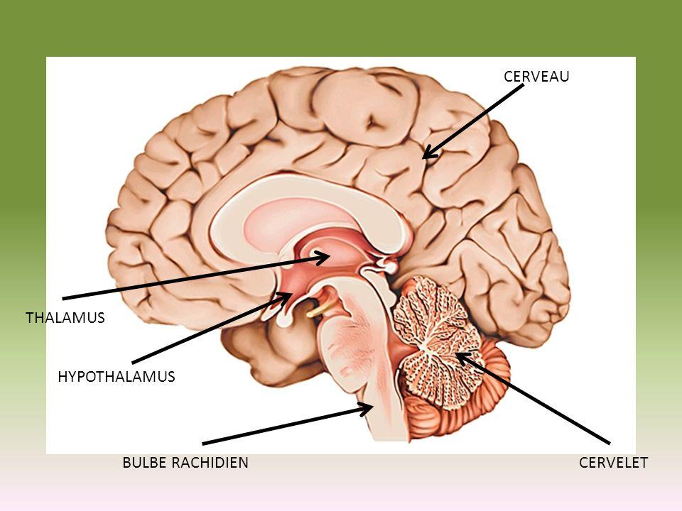 Parties de lencéphale A)Bulbe rachidien (à la base de lencéphale) Centre cardiaque (fréquences et forces des contractions) Centre vasomoteur (régule la tension artérielle en modifiant le diamètre) Centre respiratoire (fréquence et profondeur des respirations) Réflexes du vomissement, la toux, hoquet et déglutition B) Cervelet Coordination musculaire Renforce les influx acheminés aux muscles Maintient le tonus musculaire (contraction même au repos) Maintient léquilibre