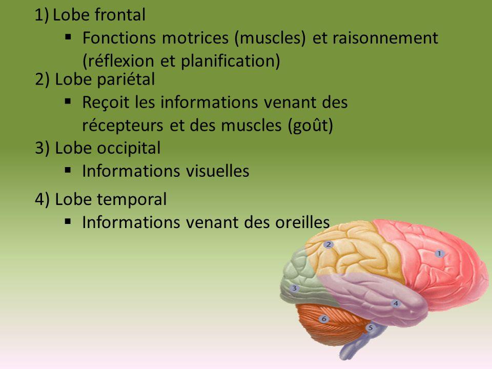 1)Lobe frontal Fonctions motrices (muscles) et raisonnement (réflexion et planification) 2) Lobe pariétal Reçoit les informations venant des récepteur