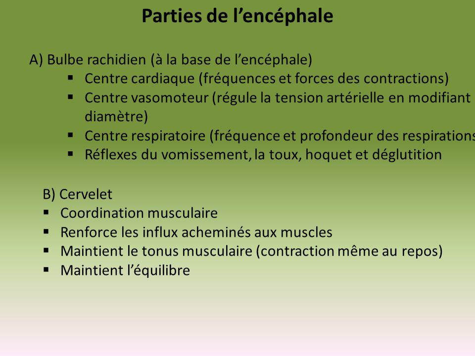 Parties de lencéphale A)Bulbe rachidien (à la base de lencéphale) Centre cardiaque (fréquences et forces des contractions) Centre vasomoteur (régule l