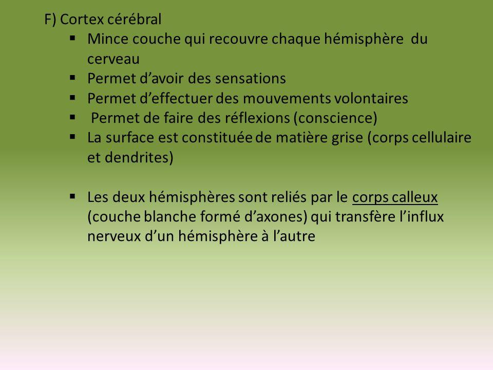 F) Cortex cérébral Mince couche qui recouvre chaque hémisphère du cerveau Permet davoir des sensations Permet deffectuer des mouvements volontaires Pe