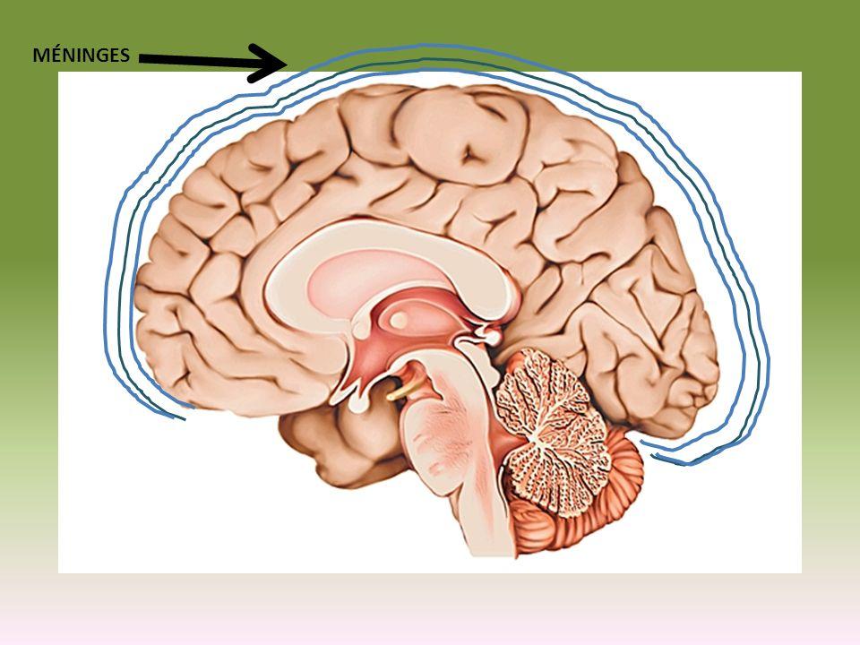 B.Tomographie par émission de positrons (TEP) - révèle les parties actives de lencéphale lorsque certaines tâches sont effectuées Pas de pratique Avec pratique