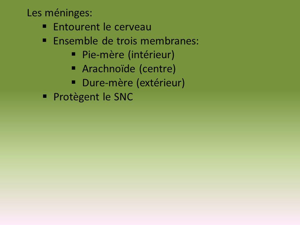 Les méninges: Entourent le cerveau Ensemble de trois membranes: Pie-mère (intérieur) Arachnoïde (centre) Dure-mère (extérieur) Protègent le SNC
