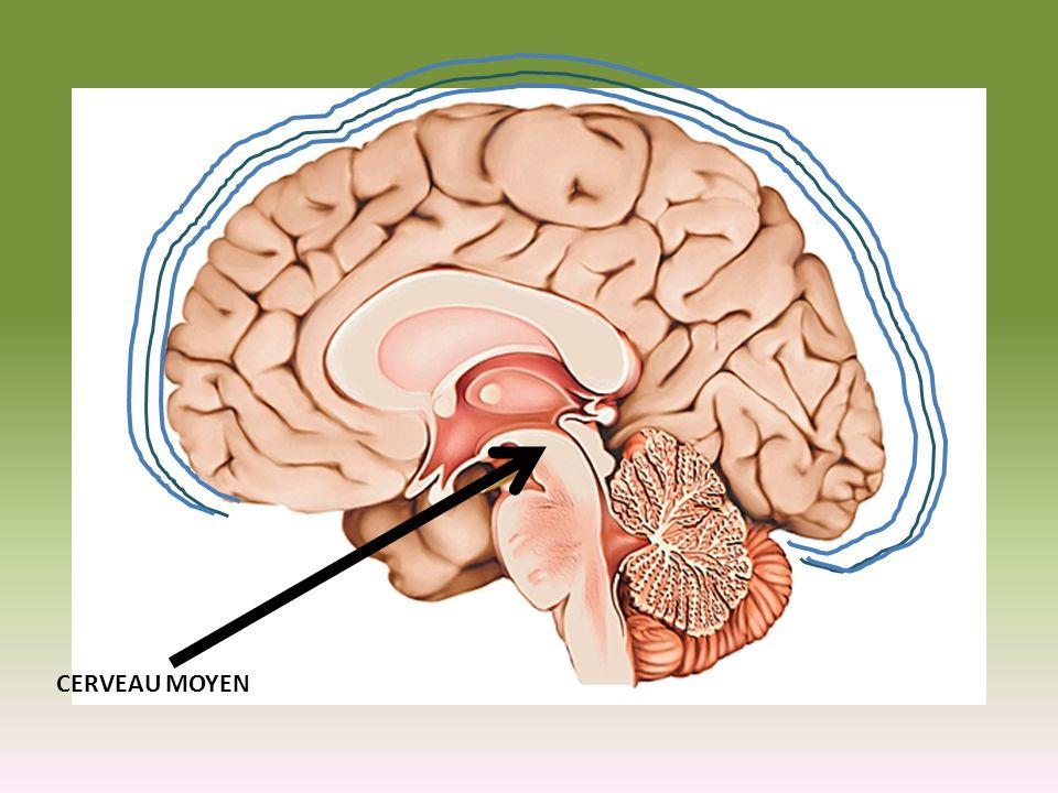 Cerveau moyen Contrôle la vision et louïe
