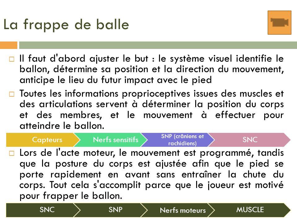 La frappe de balle Il faut d'abord ajuster le but : le système visuel identifie le ballon, détermine sa position et la direction du mouvement, anticip