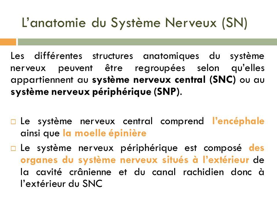 Lanatomie du Système Nerveux (SN) Les différentes structures anatomiques du système nerveux peuvent être regroupées selon quelles appartiennent au sys