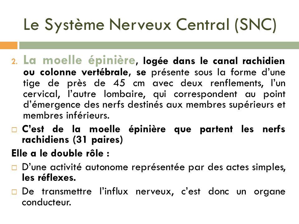 Le Système Nerveux Central (SNC) 2. La moelle épinière, logée dans le canal rachidien ou colonne vertébrale, se présente sous la forme dune tige de pr