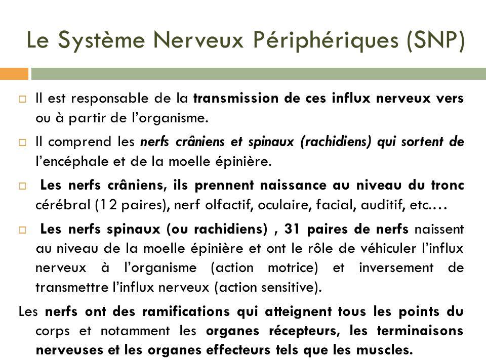 Le Système Nerveux Périphériques (SNP) Il est responsable de la transmission de ces influx nerveux vers ou à partir de lorganisme. Il comprend les ner
