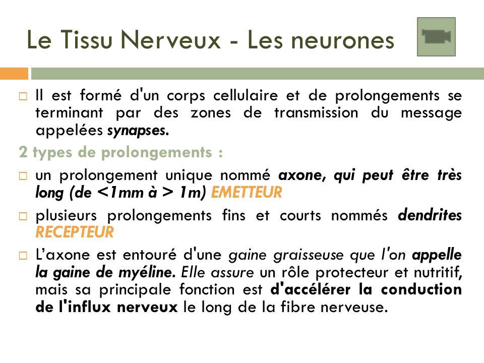 Le Tissu Nerveux - Les neurones Il est formé d'un corps cellulaire et de prolongements se terminant par des zones de transmission du message appelées