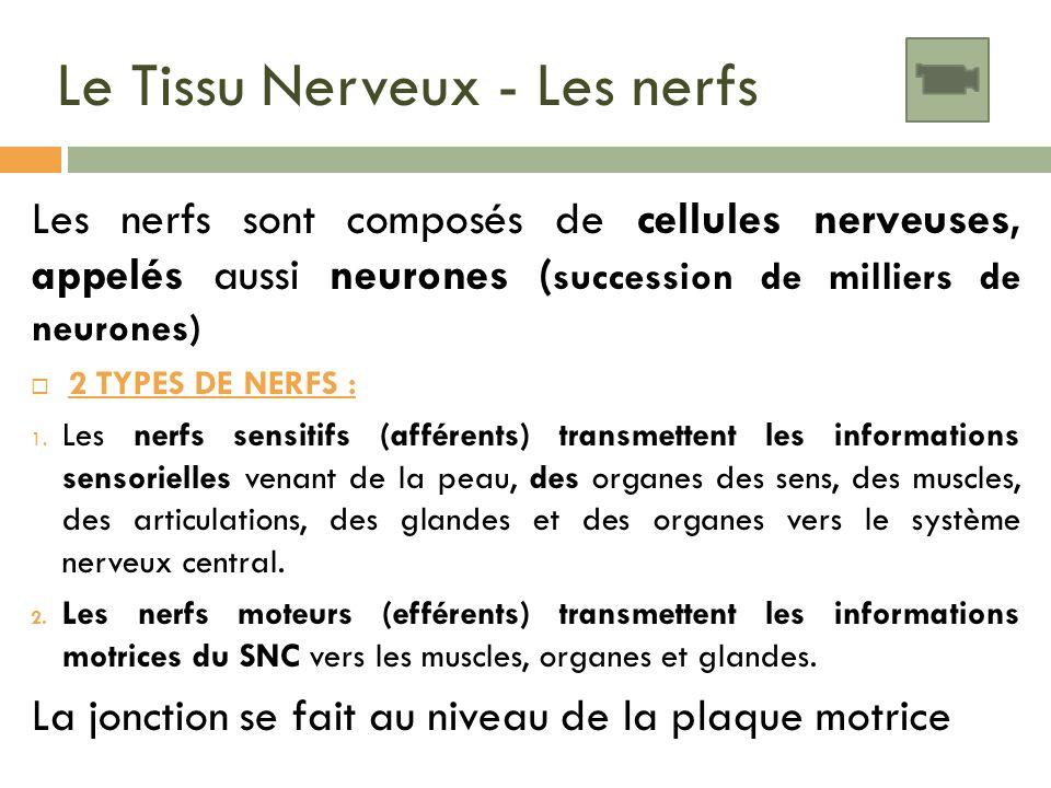 Le Tissu Nerveux - Les nerfs Les nerfs sont composés de cellules nerveuses, appelés aussi neurones ( succession de milliers de neurones) 2 TYPES DE NE