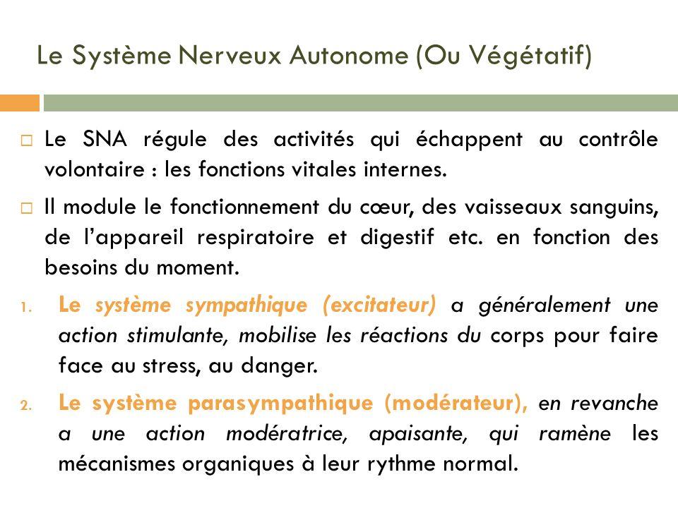 Le Système Nerveux Autonome (Ou Végétatif) Le SNA régule des activités qui échappent au contrôle volontaire : les fonctions vitales internes. Il modul