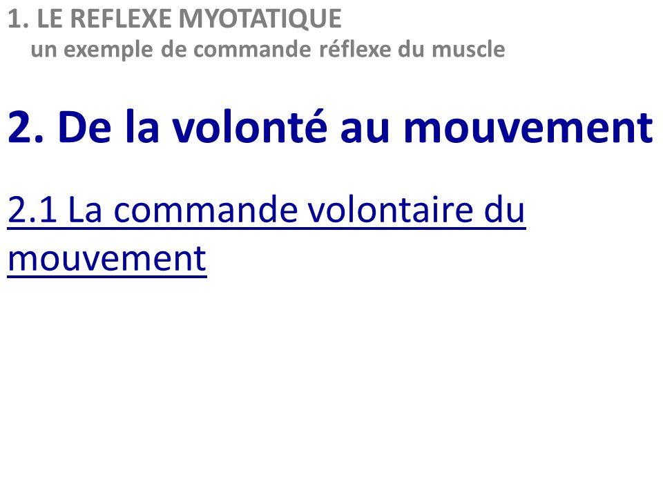 2. De la volonté au mouvement 2.1 La commande volontaire du mouvement 1. LE REFLEXE MYOTATIQUE un exemple de commande réflexe du muscle
