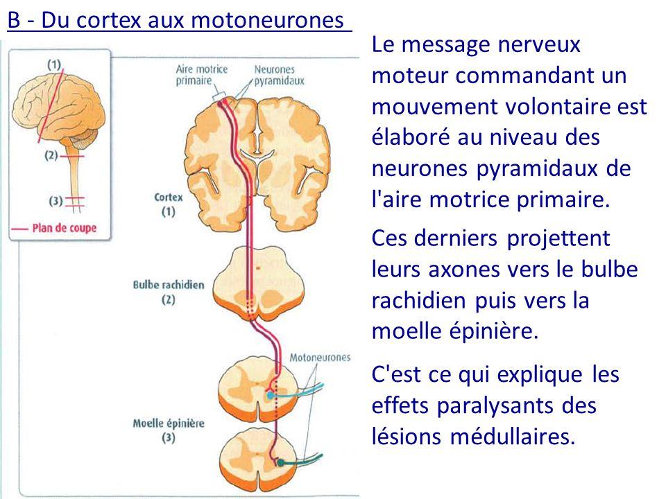 Le message nerveux moteur commandant un mouvement volontaire est élaboré au niveau des neurones pyramidaux de l aire motrice primaire.