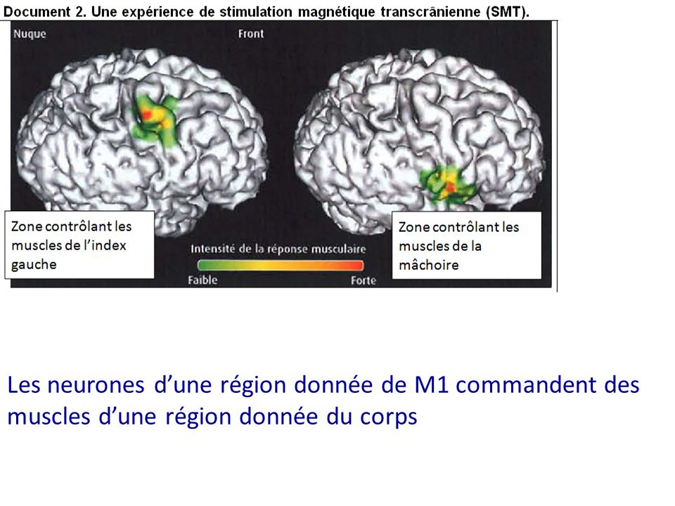 Les neurones dune région donnée de M1 commandent des muscles dune région donnée du corps