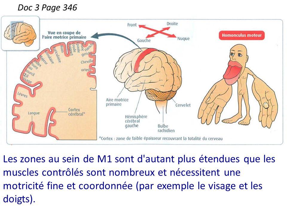 Les zones au sein de M1 sont d'autant plus étendues que les muscles contrôlés sont nombreux et nécessitent une motricité fine et coordonnée (par exemp