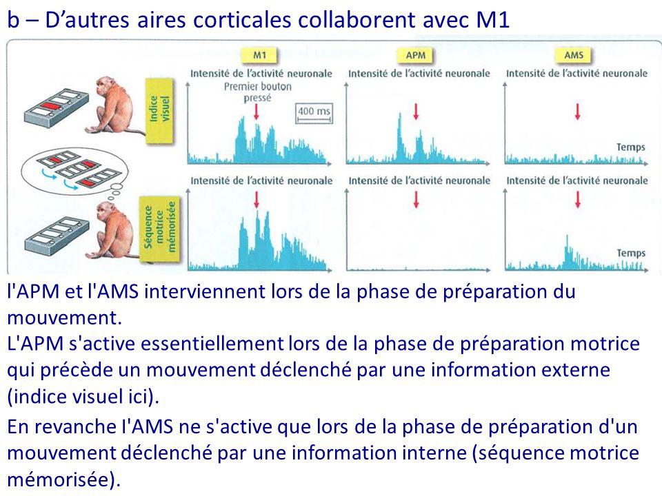 En revanche I AMS ne s active que lors de la phase de préparation d un mouvement déclenché par une information interne (séquence motrice mémorisée).