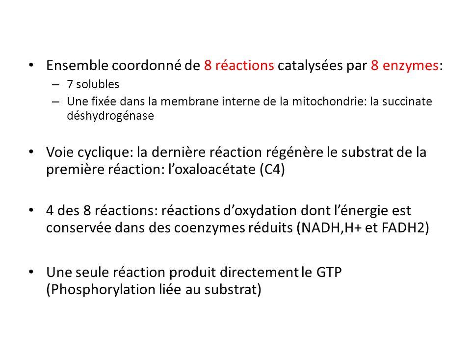 Ensemble coordonné de 8 réactions catalysées par 8 enzymes: – 7 solubles – Une fixée dans la membrane interne de la mitochondrie: la succinate déshydrogénase Voie cyclique: la dernière réaction régénère le substrat de la première réaction: loxaloacétate (C4) 4 des 8 réactions: réactions doxydation dont lénergie est conservée dans des coenzymes réduits (NADH,H+ et FADH2) Une seule réaction produit directement le GTP (Phosphorylation liée au substrat)