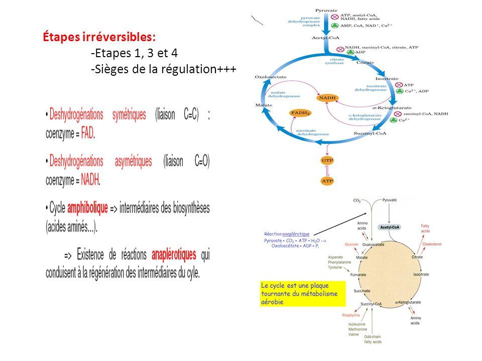Étapes irréversibles: -Etapes 1, 3 et 4 -Sièges de la régulation+++
