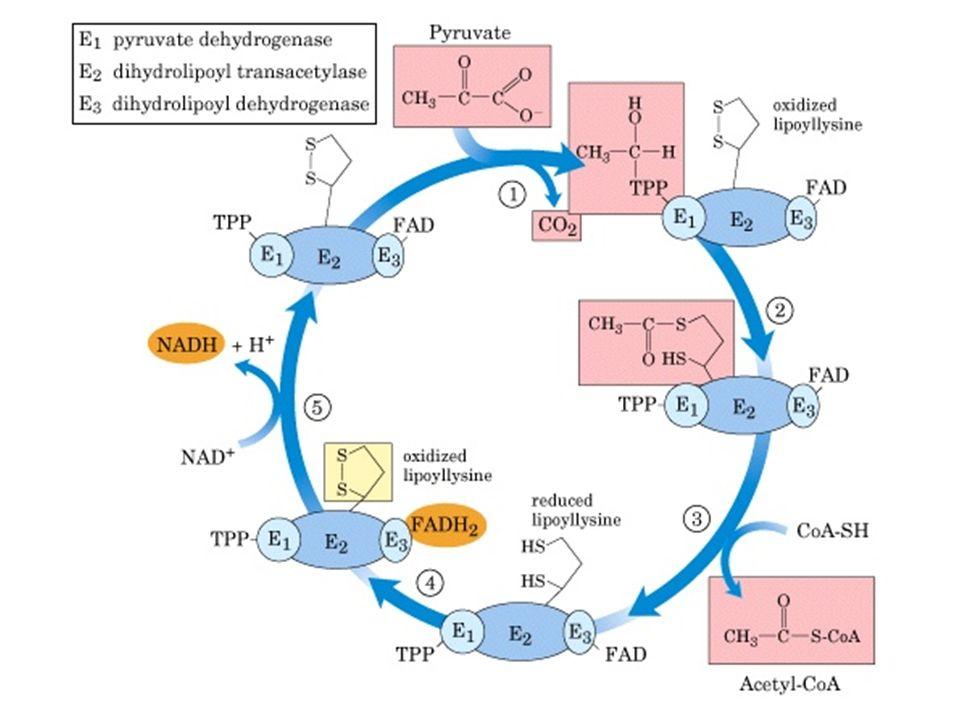 Intervention coordonnée des 3 enzy mes E1- La Pyruvate déshydrogénase: – Décarboxylation du pyruvate, – Transfert du résidu acétyl sur le TPP, oxydation du résidu en acétyl E2- La dihydrolipoyl transacétylase – Transfère lacétyle et les équivalents réducteurs sur le lipoate qui passe à létat réduit (dihydrolipoate) – Transfère le résidu acétyl au CoA formant lacétyl CoA.
