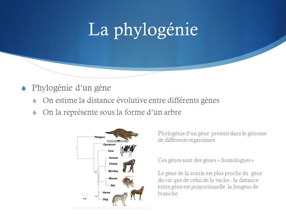 La phylogénie Phylogénie dun gène On estime la distance évolutive entre différents gènes On la représente sous la forme dun arbre Phylogénie dun gène