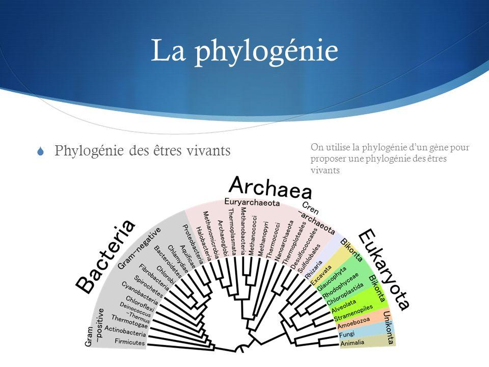 La phylogénie Phylogénie des êtres vivants On utilise la phylogénie dun gène pour proposer une phylogénie des êtres vivants