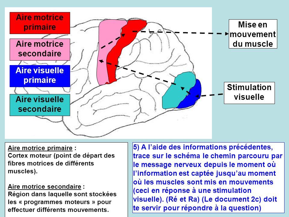 Aire motrice secondaire Aire motrice primaire Aire visuelle secondaire Aire visuelle primaire 5) A laide des informations précédentes, trace sur le sc