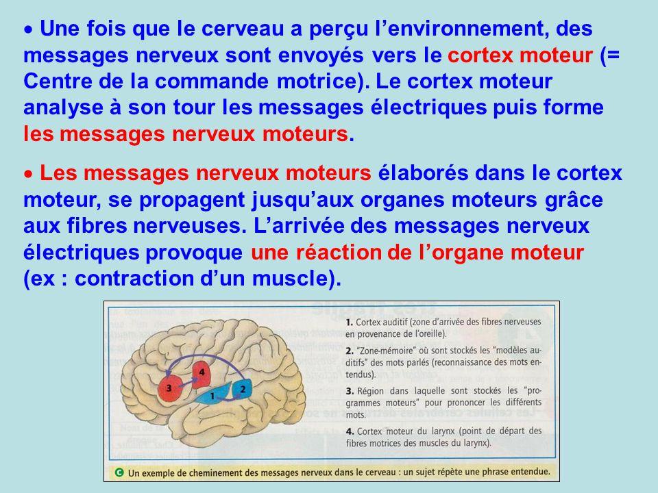 Une fois que le cerveau a perçu lenvironnement, des messages nerveux sont envoyés vers le cortex moteur (= Centre de la commande motrice). Le cortex m