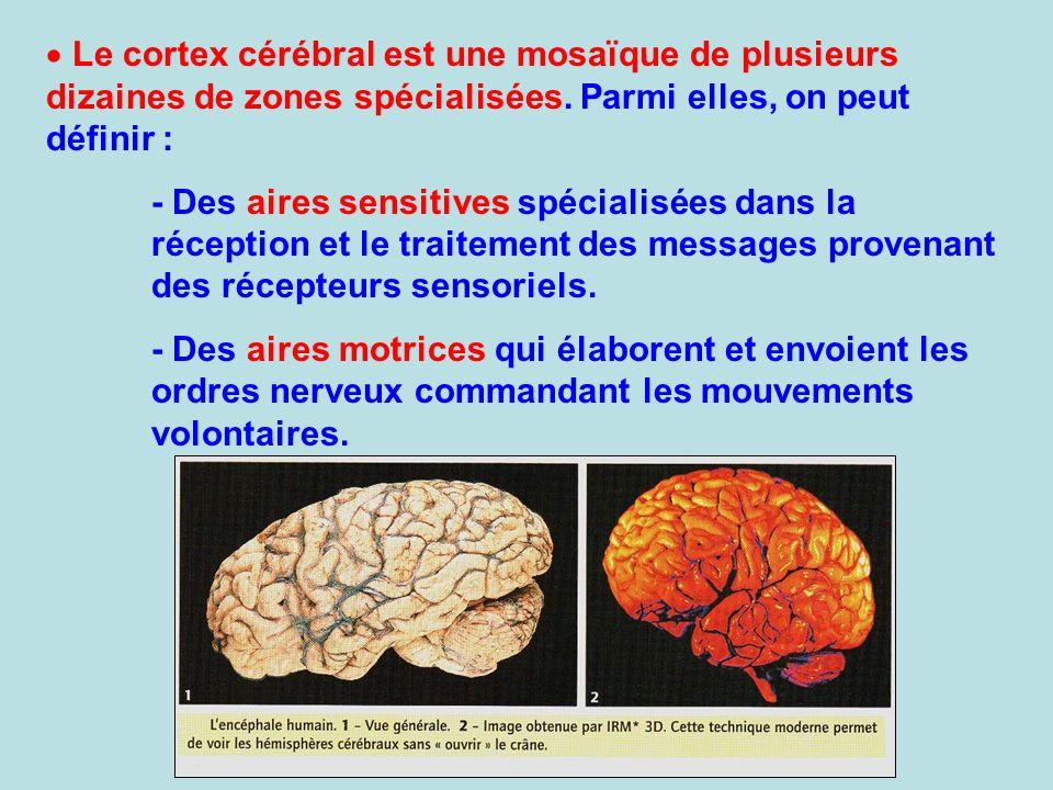 Le cortex cérébral est une mosaïque de plusieurs dizaines de zones spécialisées. Parmi elles, on peut définir : - Des aires sensitives spécialisées da