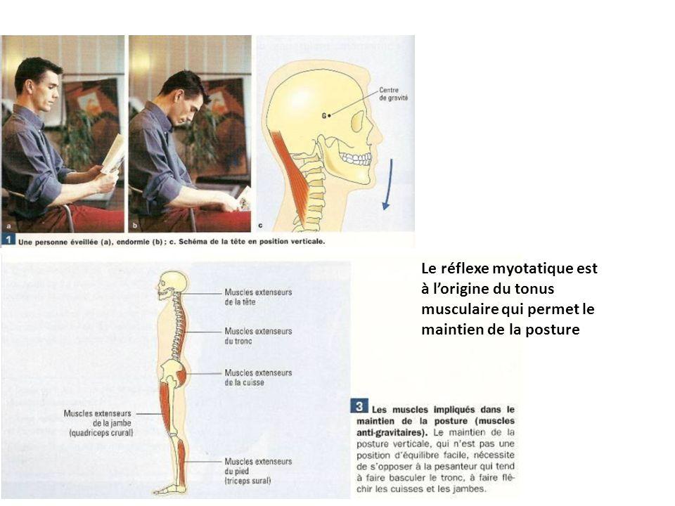 Le réflexe myotatique est à lorigine du tonus musculaire qui permet le maintien de la posture