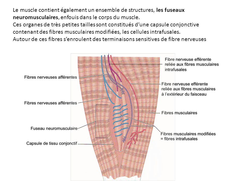 Le muscle contient également un ensemble de structures, les fuseaux neuromusculaires, enfouis dans le corps du muscle. Ces organes de très petites tai