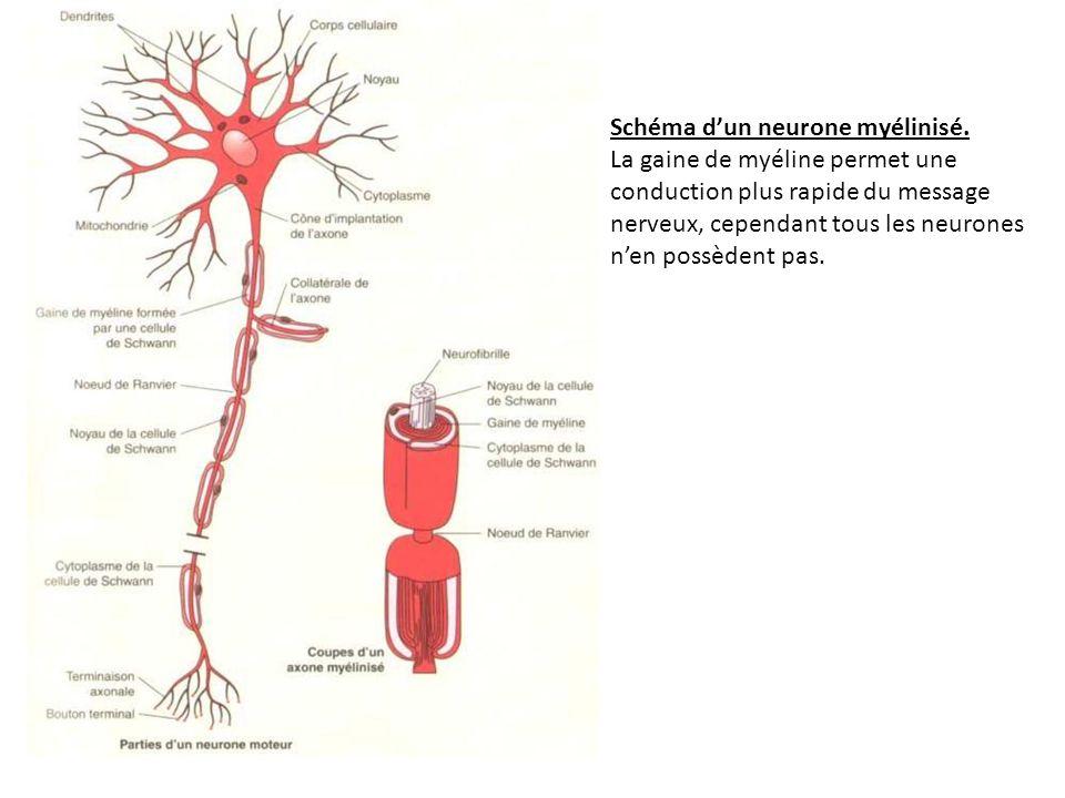 Schéma dun neurone myélinisé. La gaine de myéline permet une conduction plus rapide du message nerveux, cependant tous les neurones nen possèdent pas.