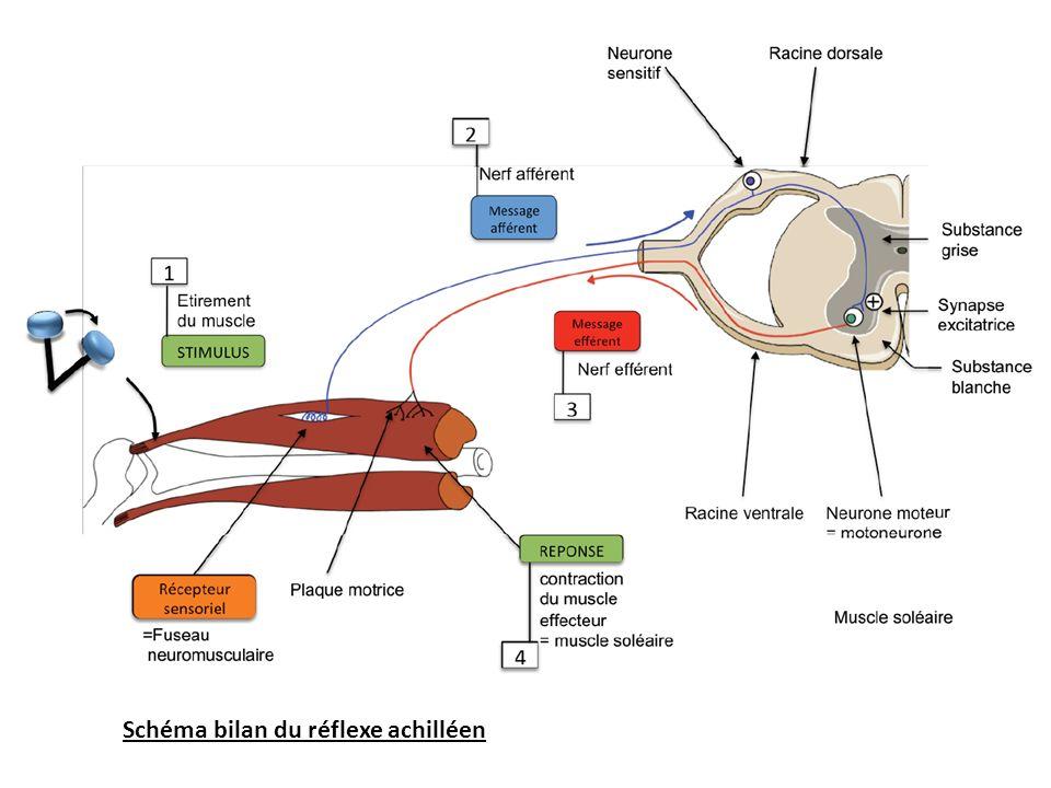 Schéma bilan du réflexe achilléen