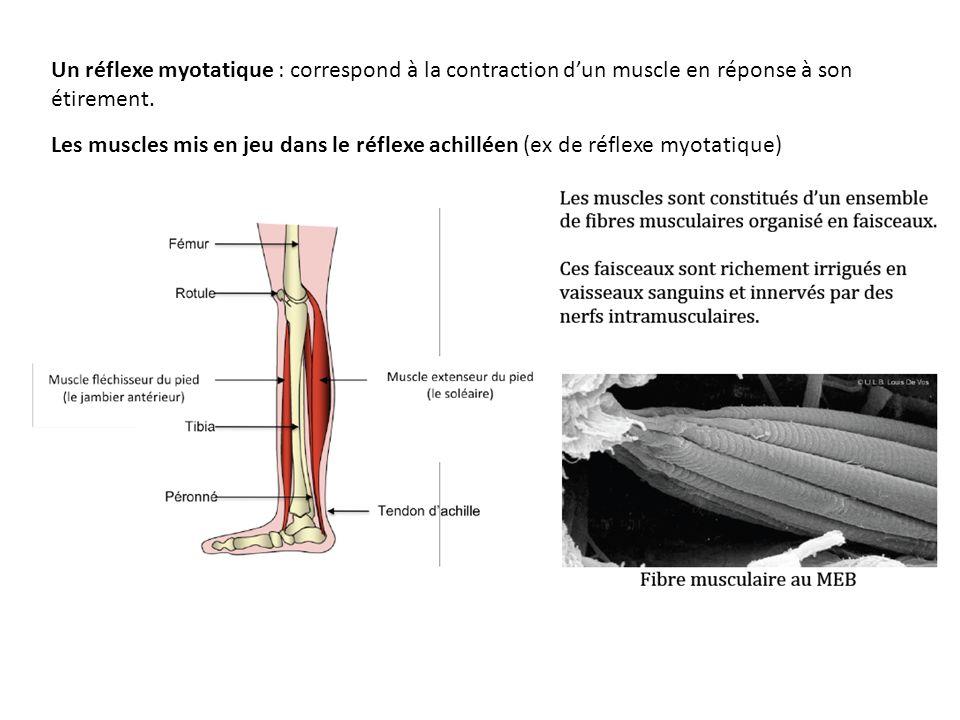 Les muscles mis en jeu dans le réflexe achilléen (ex de réflexe myotatique) Un réflexe myotatique : correspond à la contraction dun muscle en réponse