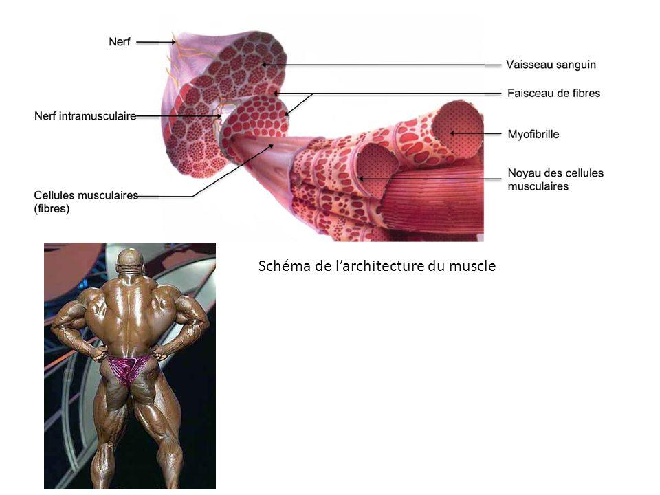 Schéma de larchitecture du muscle
