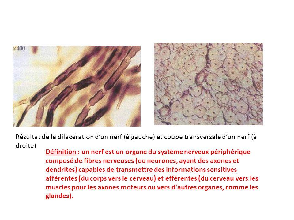 Résultat de la dilacération dun nerf (à gauche) et coupe transversale dun nerf (à droite) Définition : un nerf est un organe du système nerveux périph