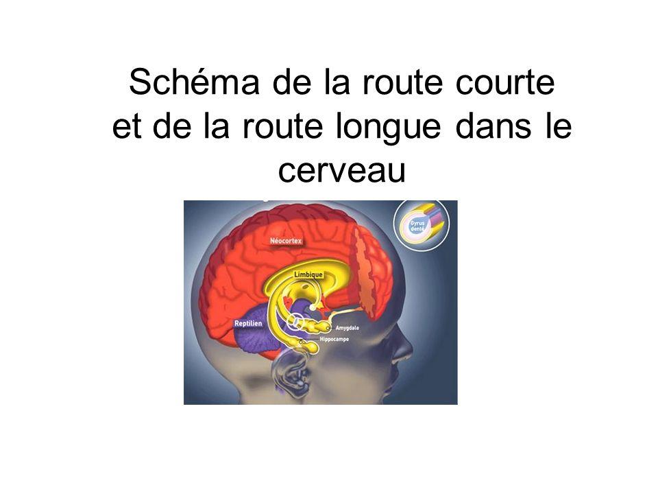 Schéma de la route courte et de la route longue dans le cerveau