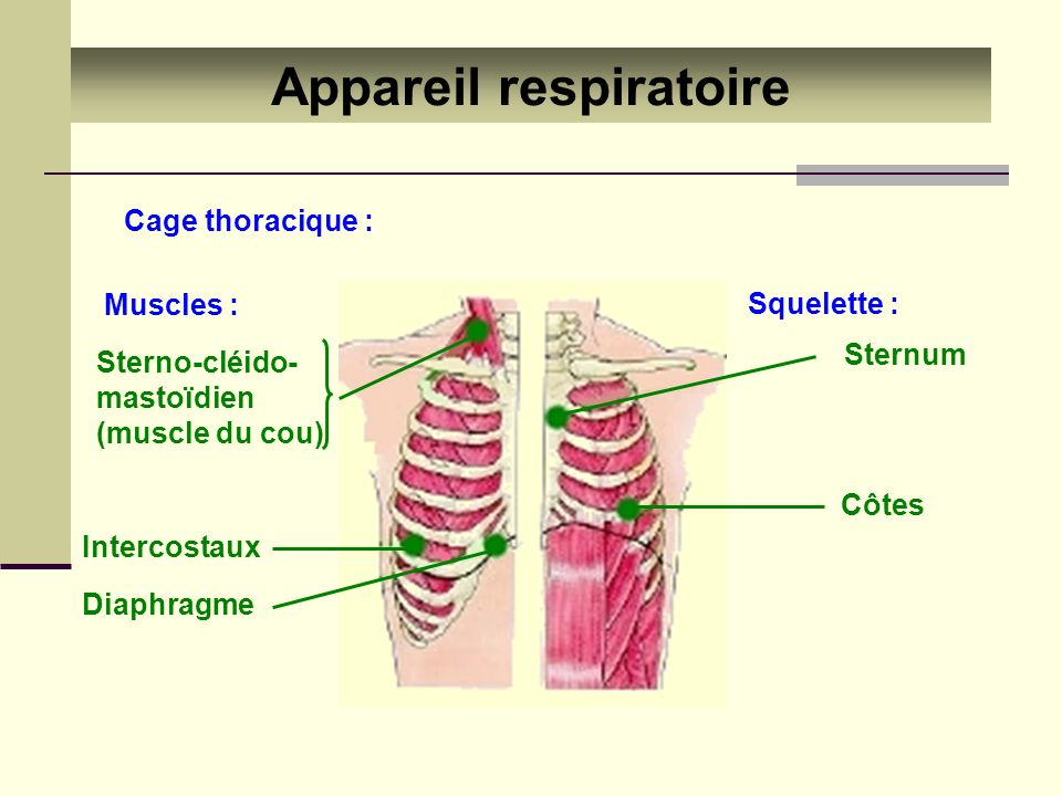Appareil respiratoire Cage thoracique : Squelette : Sternum Côtes Muscles : Sterno-cléido- mastoïdien (muscle du cou) Intercostaux Diaphragme