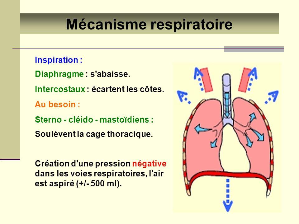 Mécanisme respiratoire Inspiration : Diaphragme : s'abaisse. Intercostaux : écartent les côtes. Au besoin : Sterno - cléido - mastoïdiens : Soulèvent