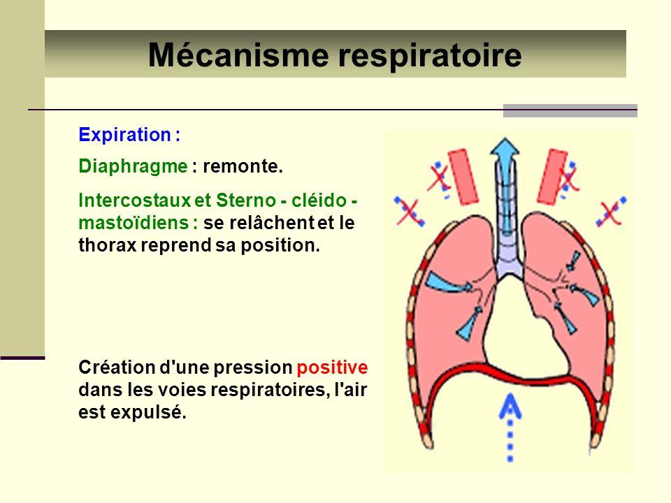 Expiration : Mécanisme respiratoire Création d'une pression positive dans les voies respiratoires, l'air est expulsé. Diaphragme : remonte. Intercosta