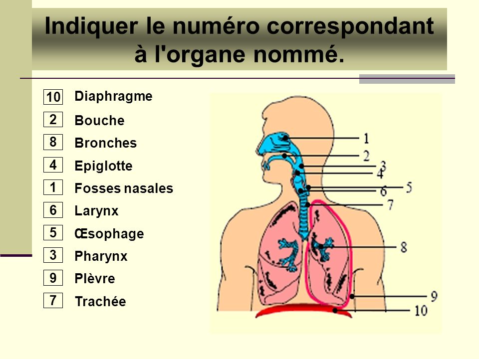 Diaphragme Bouche Bronches Epiglotte Fosses nasales Larynx Œsophage Pharynx Plèvre Trachée 10 2 8 4 1 6 5 3 9 7