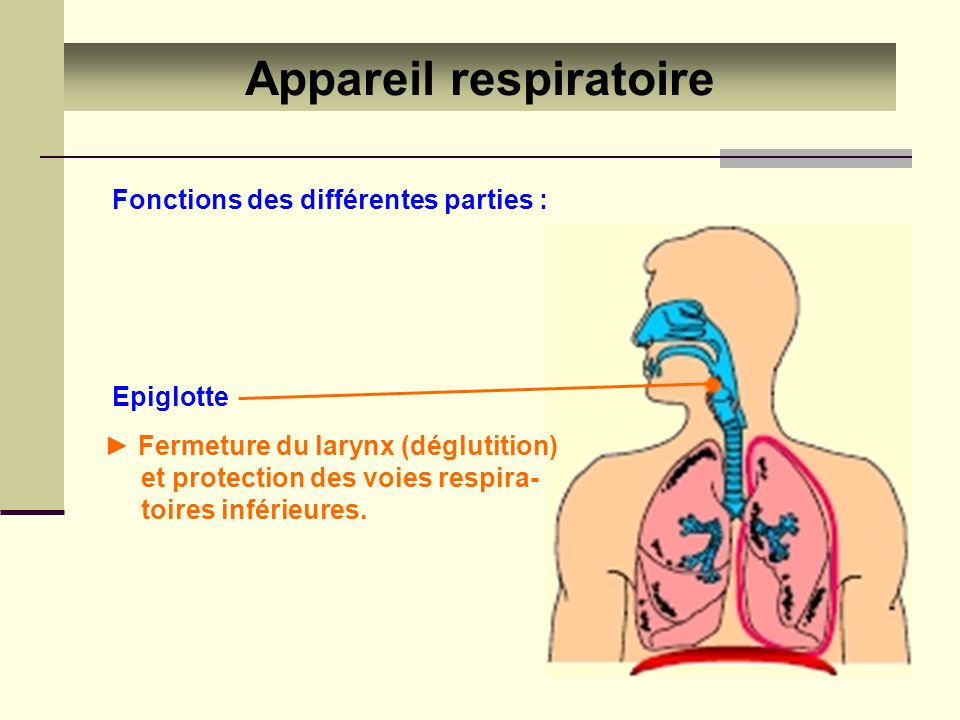 Appareil respiratoire Fonctions des différentes parties : Epiglotte Fermeture du larynx (déglutition) et protection des voies respira- toires inférieu