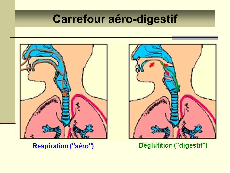 Appareil respiratoire Fonctions des différentes parties : Larynx Phonation (parole)