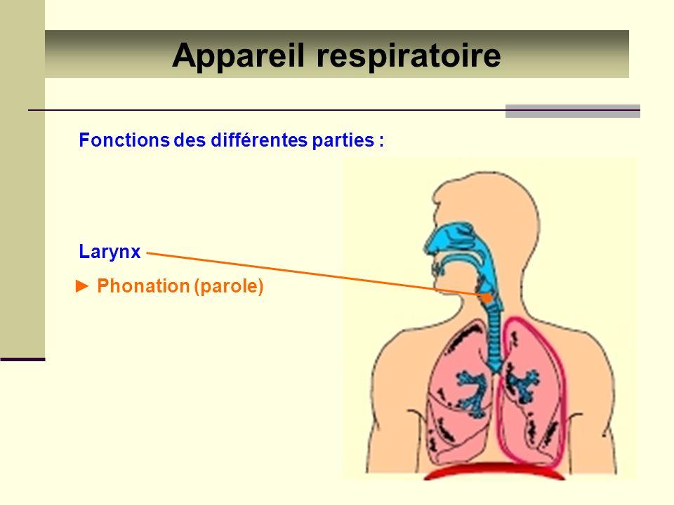 Appareil respiratoire Filtrer, humidifier et réchauffer l air Trachée Bronches Fonctions des différentes parties :