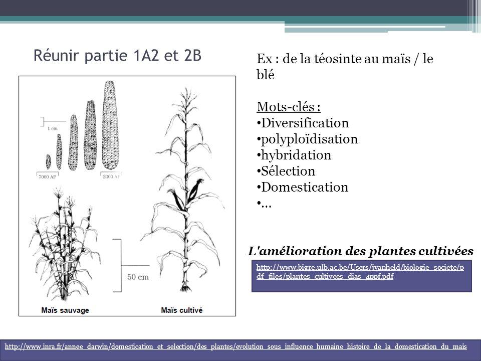 Réunir partie 1A2 et 2B Ex : de la téosinte au maïs / le blé Mots-clés : Diversification polyploïdisation hybridation Sélection Domestication … http://www.inra.fr/annee_darwin/domestication_et_selection/des_plantes/evolution_sous_influence_humaine_histoire_de_la_domestication_du_mais L amélioration des plantes cultivées http://www.bigre.ulb.ac.be/Users/jvanheld/biologie_societe/p df_files/plantes_cultivees_dias_4ppf.pdf